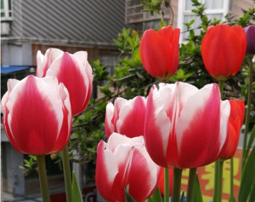 郁金香茎短花小是怎么回事?可能是因为品种不同