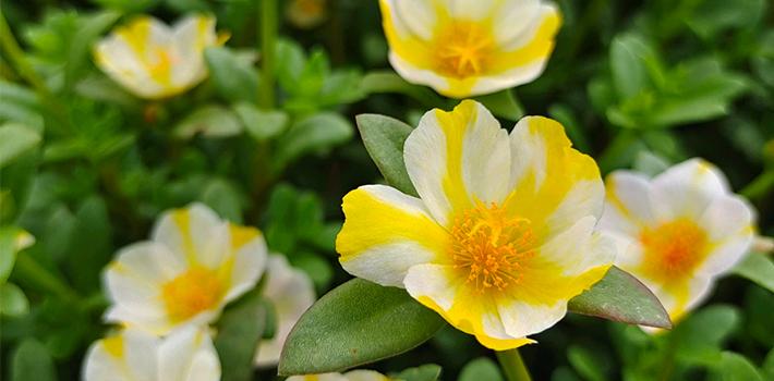 耐热的花有哪些?