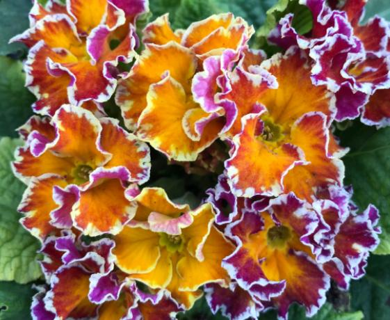 报春花怎么繁殖?可以用播种法和扦插法