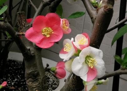 家里养海棠花不吉利吗?这种说法比较迷信
