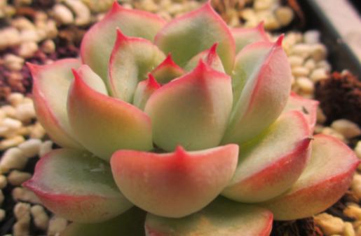 多肉植物花月夜怎么养?夏天要注意遮荫降温