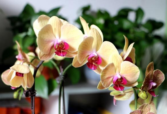 蝴蝶兰开完花怎么办 在花后要修剪掉残花