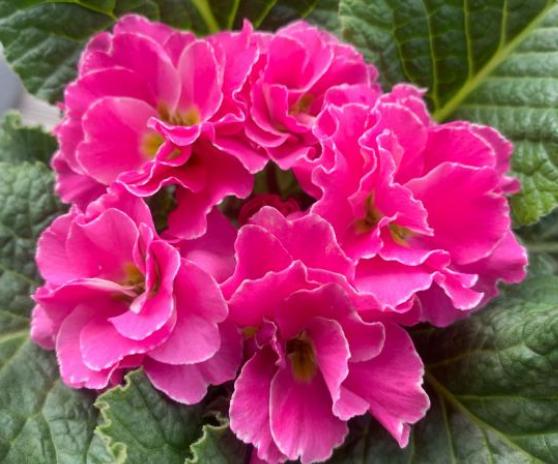报春花如何播种?在五六月份采集种子
